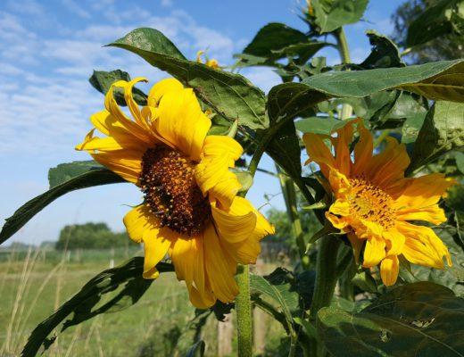 twee gele zonnebloemen