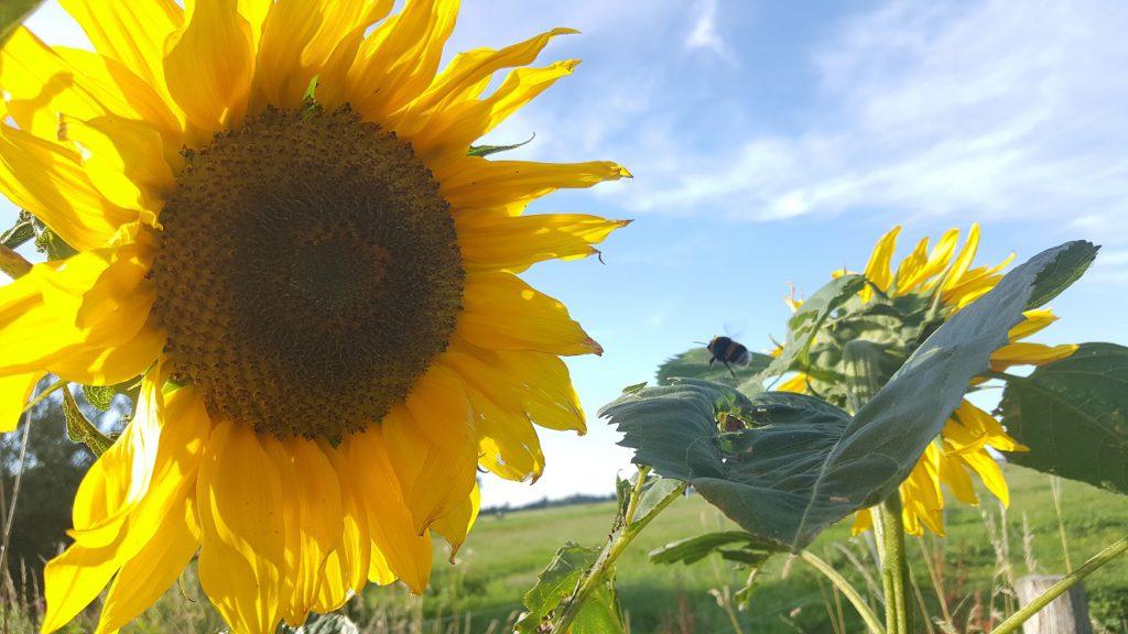 gele zonnebloem met bij en blauwe lucht
