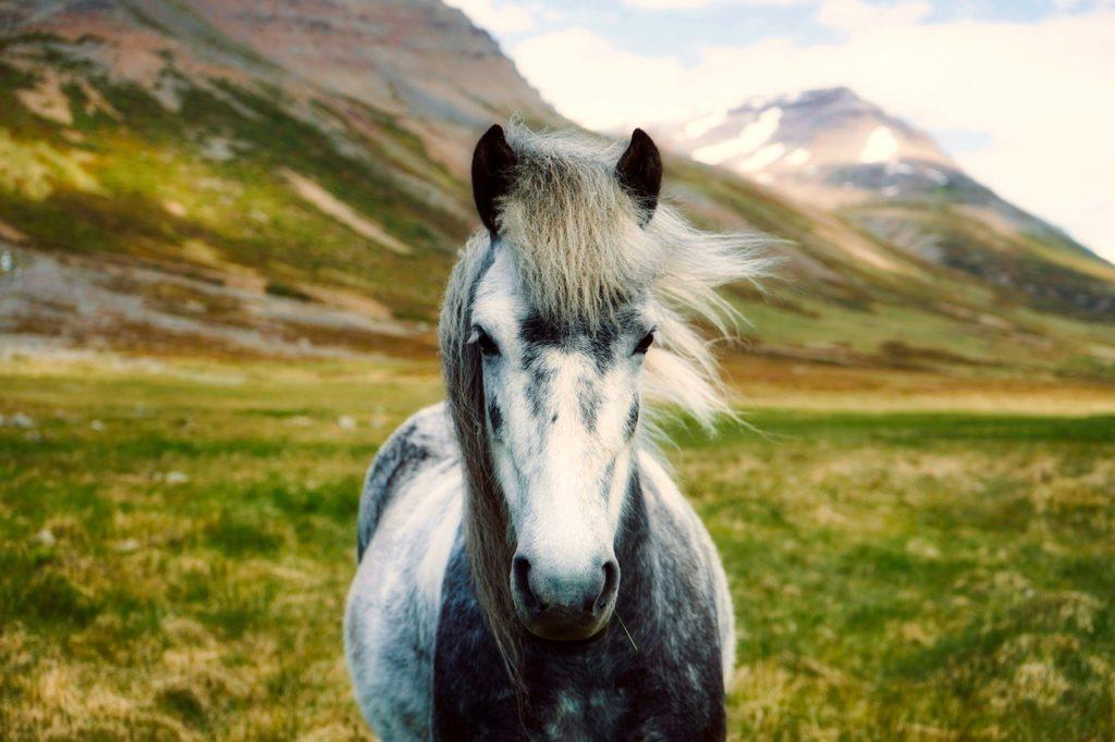 ijsland paard